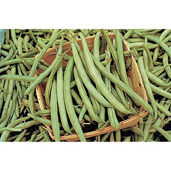 """Tendergreen Improved is a heat-tolerant snap bean with 6-7"""" round and meaty, dark-green pods. Heavy, prolonged producer."""