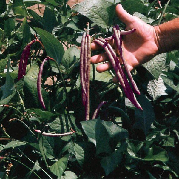 Top Pick Pinkeye Purple Hull Cowpea Seeds