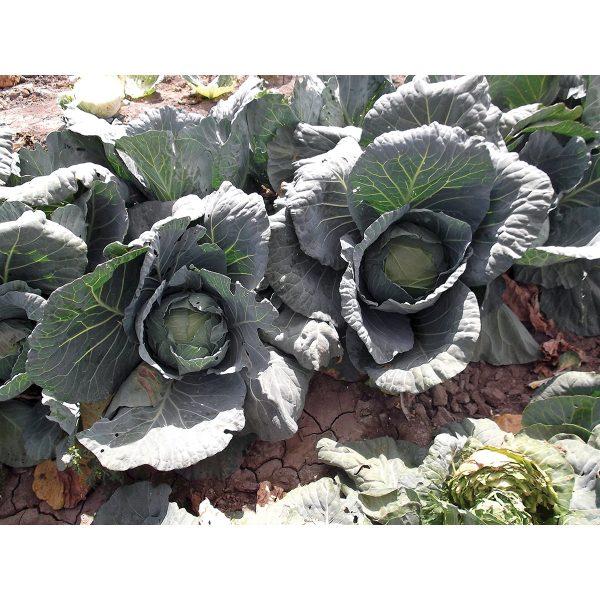 Danny Boy F1 Hybrid Cabbage