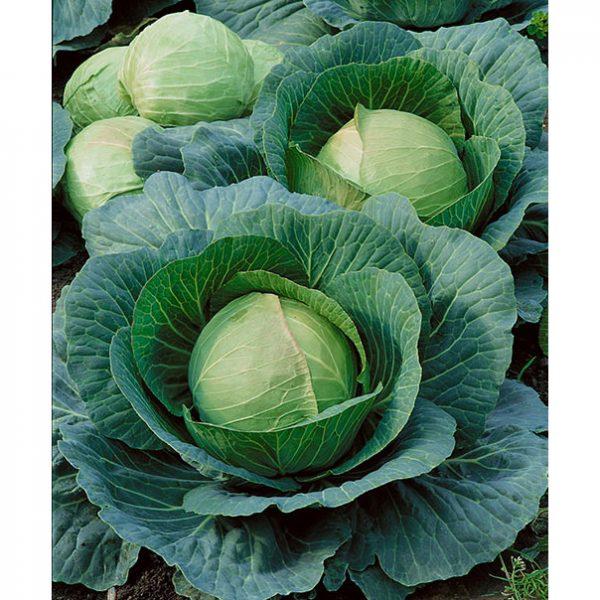 Danish Ball Head Cabbage