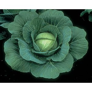 Charmant F1 Hybrid cabbage