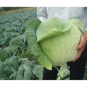 Harvest Mist F1 Hybrid Cabbage