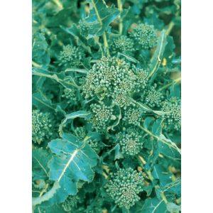 Riccio Di Sarno Italian Broccoli Raab from our Italian Gourmet Seed Collection