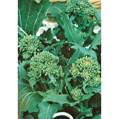 Novantina Riccia di Sarno Italian Broccoli Raab Seeds from our Italian Gourmet Seed Collection