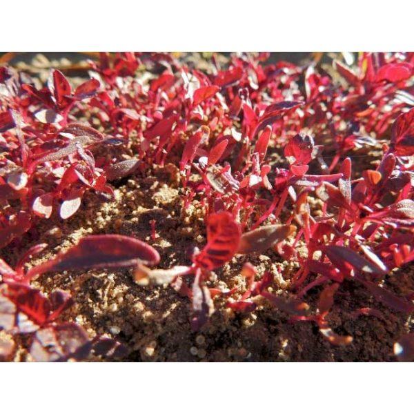 Garnet Red Amaranth Seeds Microgreens