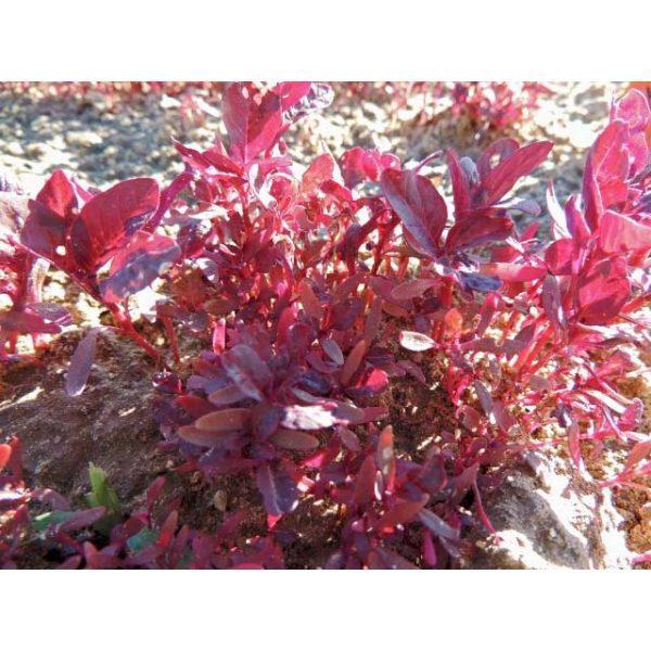 Garnet Red Amaranth Seeds
