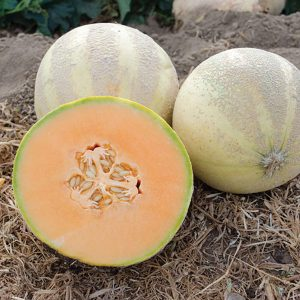 Oui F1 Hybrid French Charentais Style Melon