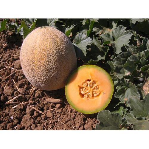 Edisto 47 Melon
