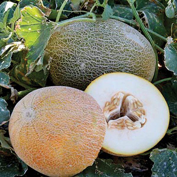 Trinidad F1 Hybrid Ananas Melon