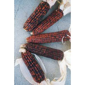 Bloody Butcher Ornamental Corn