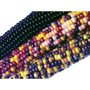 Fiesta Flint F1 Hybrid Ornamental Corn