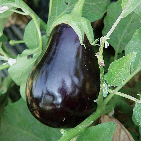 Campana Negra F1 Hybrid Eggplant
