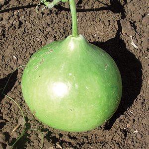 Bushel Basket Gourd