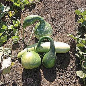 Large Gourd Mix