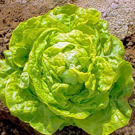 Big Boston Butterhead Lettuce Seeds