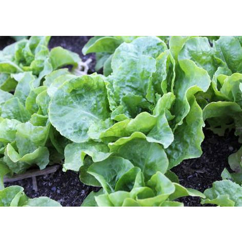 Buttercrunch Lettuce Seeds