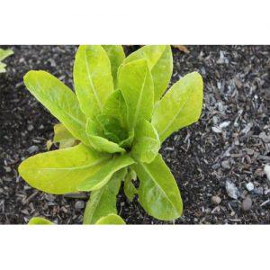 Little Gem Butterhead Lettuce