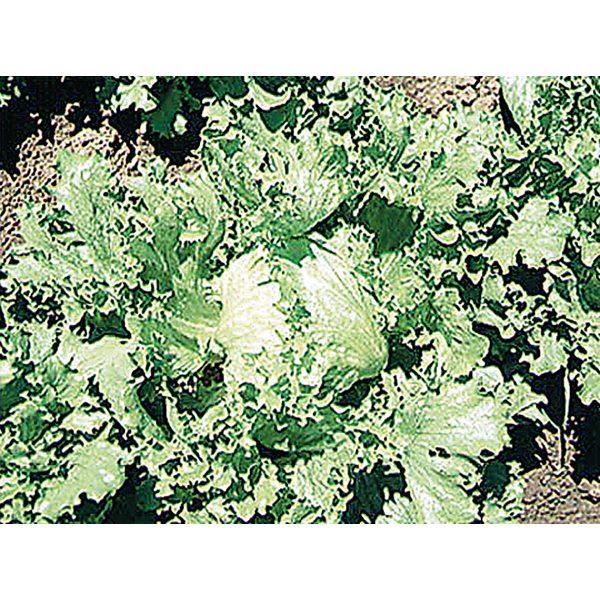 Great Lakes 659 Crisphead Lettuce