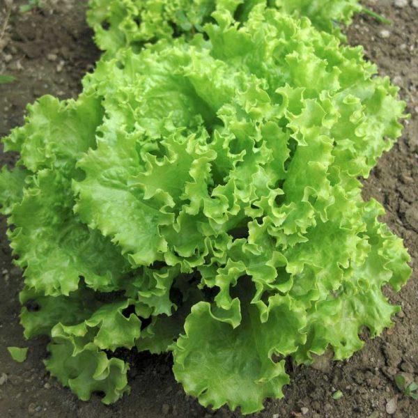 Salad Bowl Looseleaf Lettuce