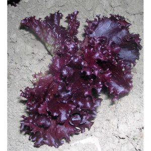 Red Salad Bowl Lettuce Seeds