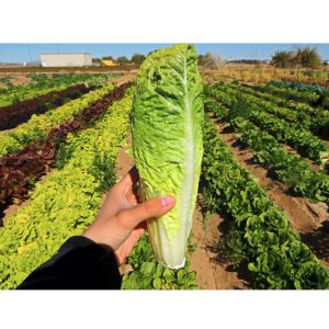 Parris Island Cos Lettuce Seeds