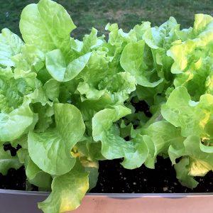 Simpson Elite Lettuce Seeds