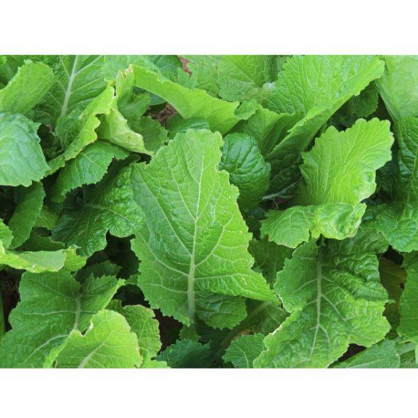 Florida Broad Leaf Mustard Greens