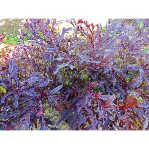 Feather Red F1 Hybrid Mustard