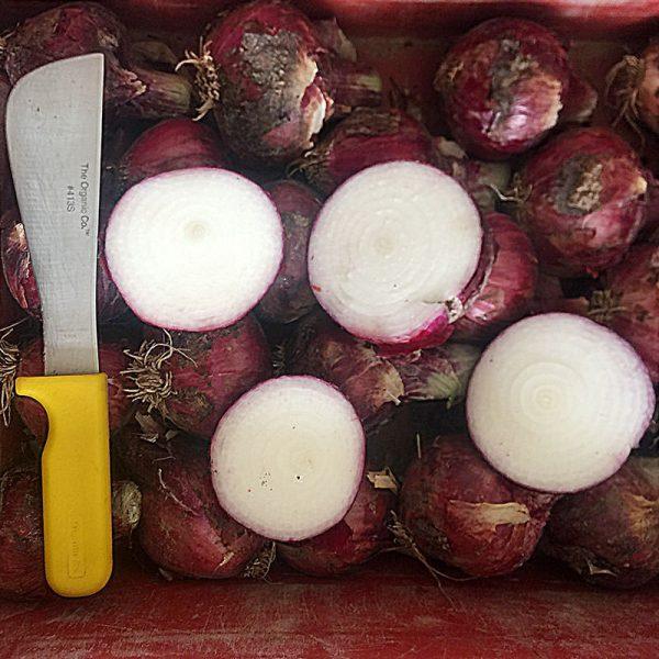 Chianti F1 Hybrid Onion SeedsChianti F1 Hybrid Onion Seeds