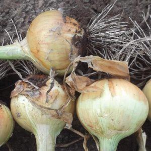 Rio Amarillo F1 Hybrid Onion