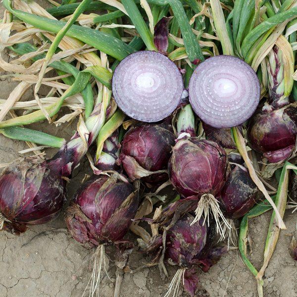 Cherry Mountain F1 Hybrid Onion