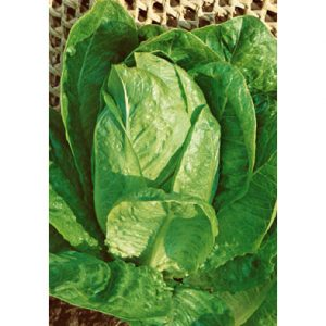 Lentissima a Montare 3 Lettuce Seeds from our Italian Gourmet Seed Collection
