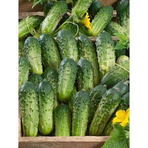 Sumter Cucumber