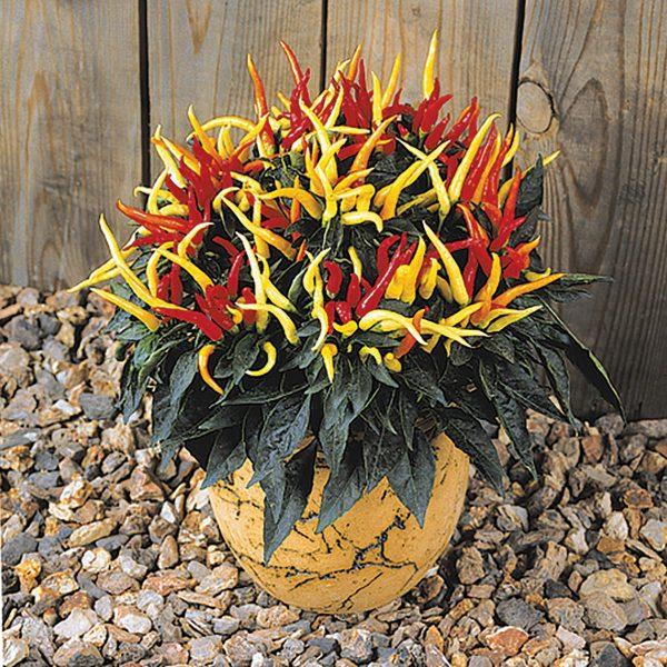 Medusa Ornamental pepper