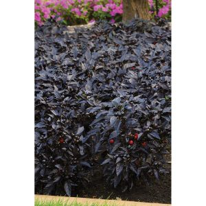 Black Pearl Ornamental Pepper