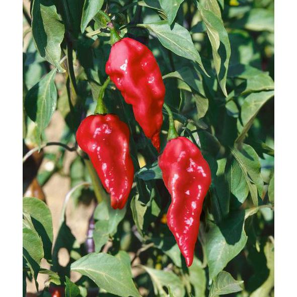Bhut Jolokia Ghost Pepper