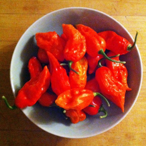 Ghost Pepper Bhut Jolokia Hot Pepper