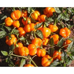 Scotch Bonnet Orange Pepper