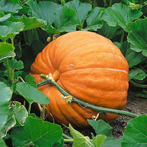 Dill's Atlantic Giant Pumpkin