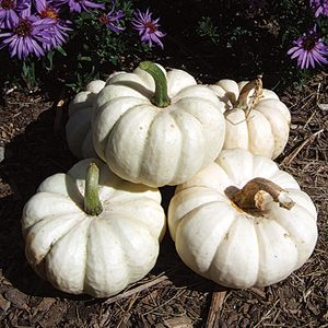 Gooligan PMT F1 Hybrid Mini White Pumpkin