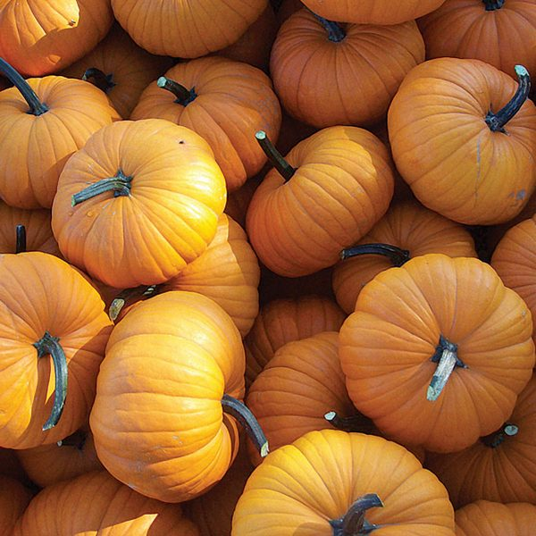 Flatso F1 Hybrid Pumpkin