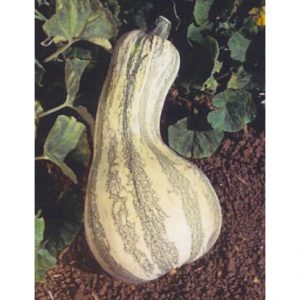 Cushaw Green Striped Pumpkin