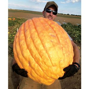 Papagallo F1 Hybrid Exhibition Size Pumpkin
