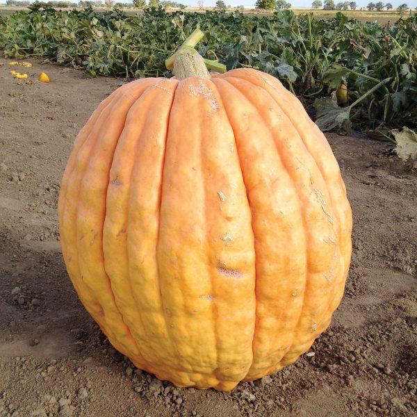 Papagallo F1 Hybrid Exhibition Size Pumpkin