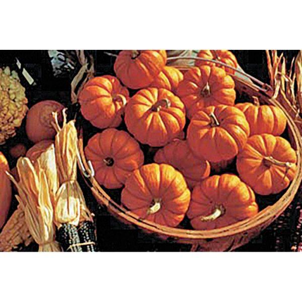 Jack Be Little Mini Pumpkin