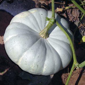 Silver Moon F1 Hybrid Pumpkin