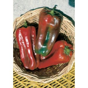 Nocera Rosso sel. Giapponese sweet pepper from our Italian Gourmet Seed Collection