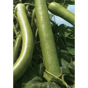 Lunga Da Pergola Italian Summer Squash Seeds from our Italian Gourmet Seed Collection