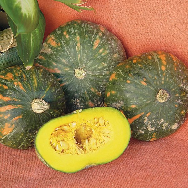 Speckled Pup PMT F1 Hybrid Mini Kabocha Type Winter Squash