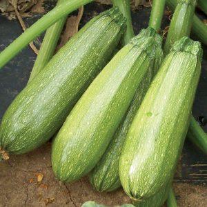 Zippy F1 Hybrid Zucchini Squash